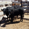 Jerome Arizona Man Indicted for Cattle Rustling