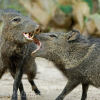 Keeping wildlife wild after javelines bite Sedona residents