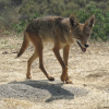 Coyote Hunting Contests Ethics and Legality