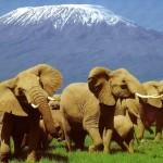 Kenyan elephant herd