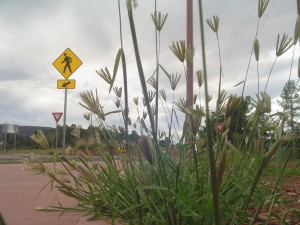 Overgrown weeds along Red Rock Scenic Highway. Photo exclusive to SedonaEye.com.