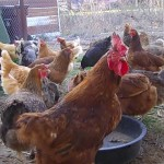 chicken rooster farm animals